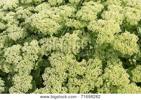 Flowers Of Sedum Spectabile.