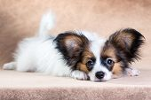 picture of epagneul  - Portrait of a cute little puppy Papillon on a light brown background - JPG
