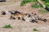 pic of hyenas  - Three spotted hyenas resting in the sunlight - JPG