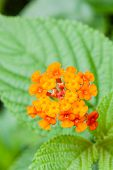 picture of lantana  - Closeup of blossom yellow orange and red lantana camara flower - JPG