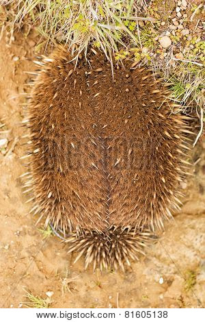 Echidna Burrowing For Protection