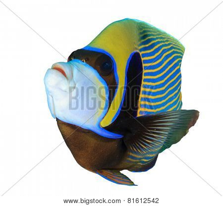 Tropical fish isolated: Emperor Angelfish