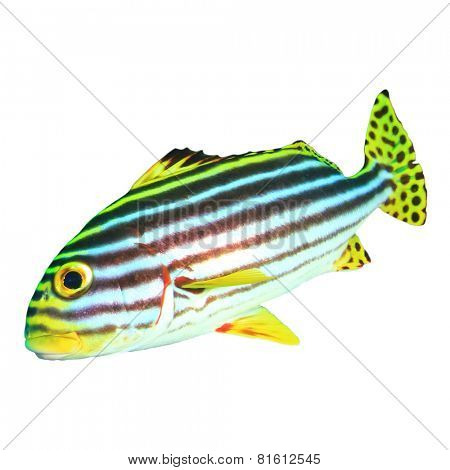 Tropical fish isolated: Oriental Sweetlips