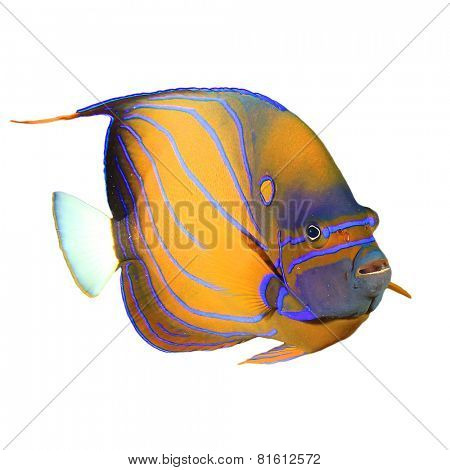 Tropical Fish isolated: Ringed Angelfish