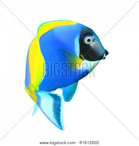 Tropical fish isolated on white background: Powder blue Surgeonfish (Dory fish)