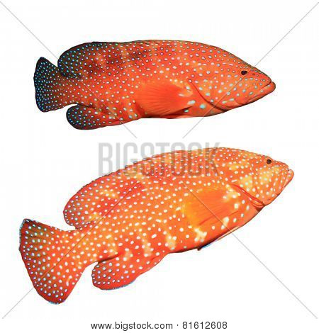 Red Coral Grouper (Hind) fish isolated on white background