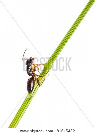 Ant running around the curved green blade of grass on a white background
