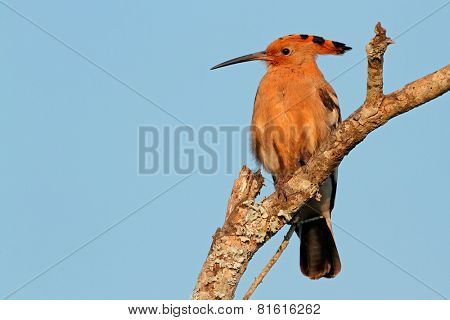 An African hoopoe (Upupa epops) on a branch against a blue sky, South Africa