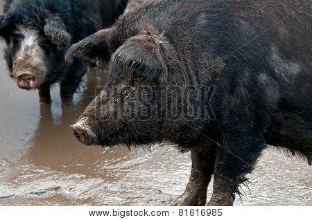 Two Black Pig