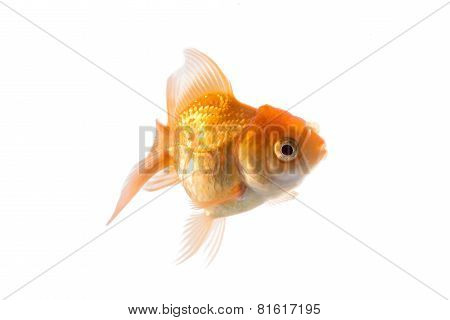 Studio Shot of Orange Goldfish Isolated on White Background