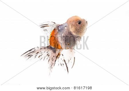 Studio Shot of Golden fish isolated on white background.