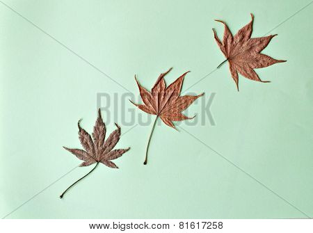 Three Dried Maple Leaves On Green Background For Background Purposes.