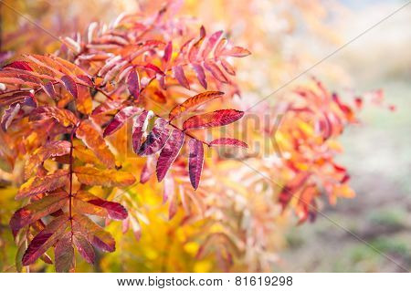 Red Leaves Of Rowan-tree In The Forest