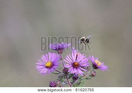 Bumble Bee Pollinating Wild Flowers