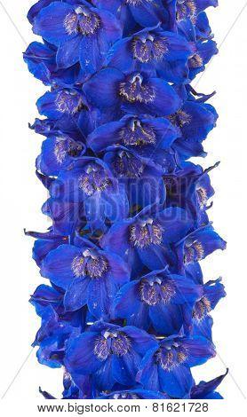 Medicinal plant: Delphinium. Macro