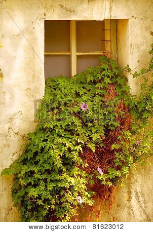 Overgrown Window Of Old Building