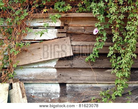 Old Overgrown Woodshack