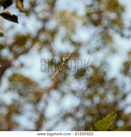 Spider (silver argiope)