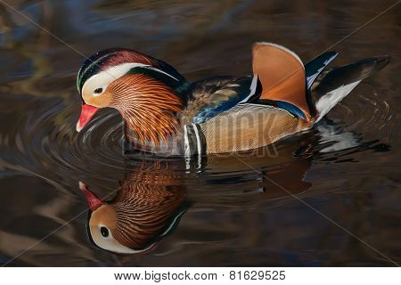 Mandarin reflection
