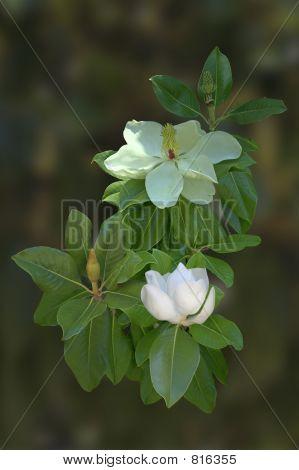 Magnolia Blooms and Foliage