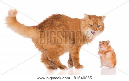 red cat and hamster