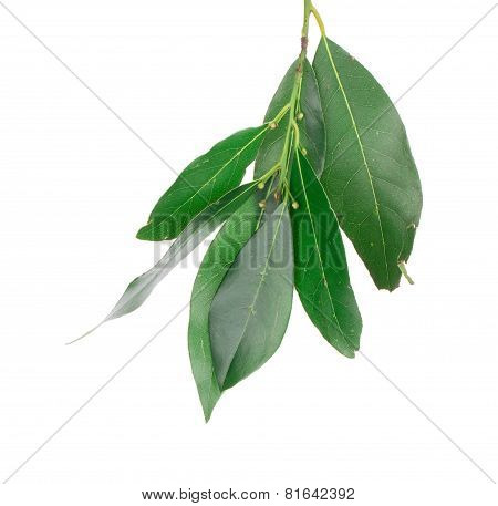 Fresh green bay leaves.