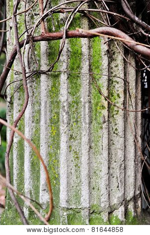 Creeper Plant Around Doric Column