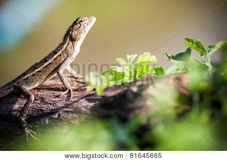 Close up of Brown Lizard on tree.