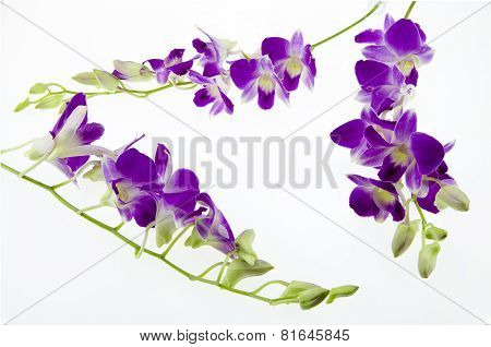 Branch Purple Orchid  On White Background