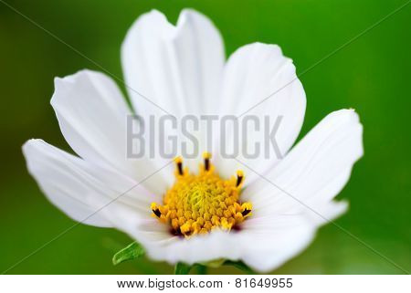 Close Up Of White Cosmea Flower