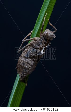 Nymph of the dragonfly