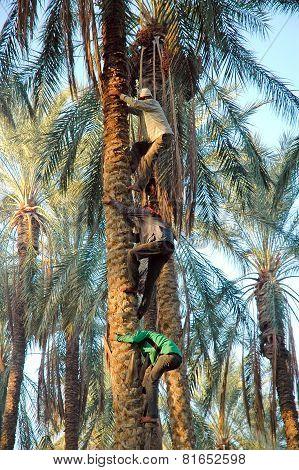 Harvesting In Oasis
