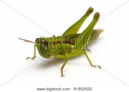 Grasshopper in front