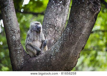 Baboon - Tarangire National Park - Wildlife Reserve In Tanzania, Africa