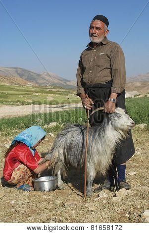 Bakhtiari  people milk goat circa Isfahan, Iran.
