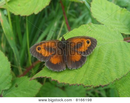 Hedge Brown