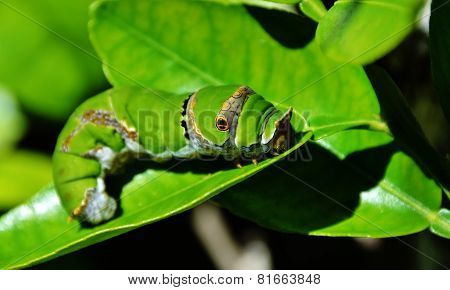 King Page Swallowtail  Caterpillar