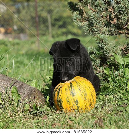 Amazing Puppy Of German Shepherd With Pumpkin