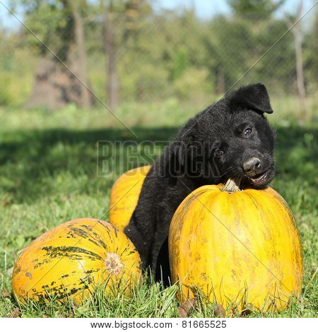 Amazing Black Puppy Of German Shepherd With Pumpkin