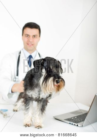 Miniature Schnauzer With Veterinarian
