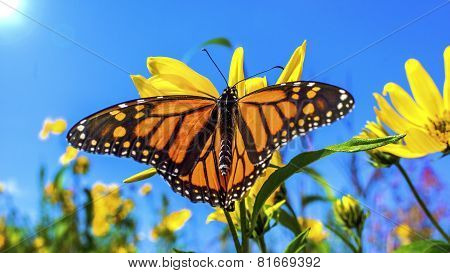 A Beautiful Monarch
