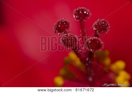 Red Flower Macro with Dew Drops