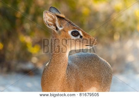 The Cutest Antelope Dik-dik