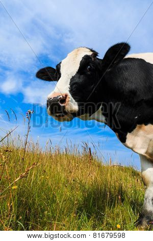 Curious Dairy Cow Standing In Field