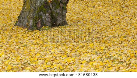 Close up on autumn leaves and a alley trunk.