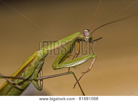 Macro Green Praying Mantis Seen From Side