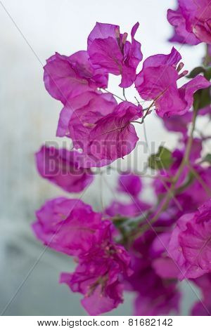 Bougainvillea On Gray