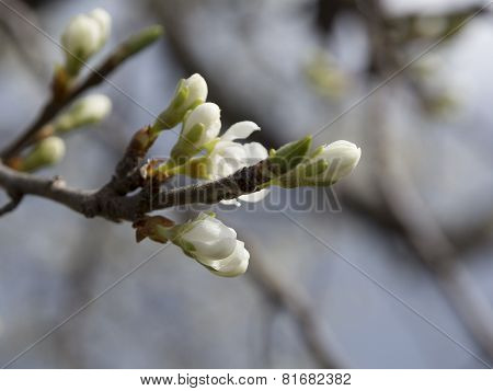 Apple Tree Flower Buds