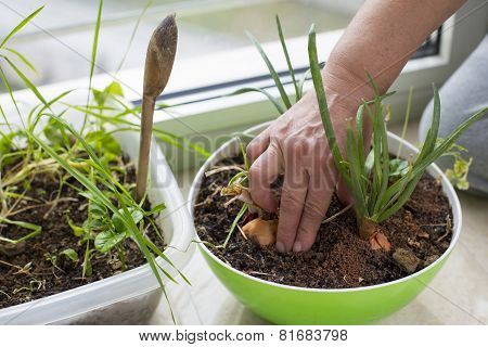 Female hands planting onion at home as a micro-farming. Indoor gardening, environmental themes