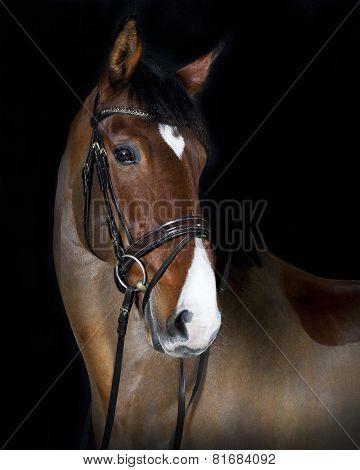 Head Holsteiner Horse Riding